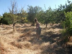 una Wwoof mueve la hierba para secar